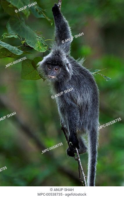 Silvered Leaf Monkey (Trachypithecus cristatus) juvenile in tree, Bako National Park, Sarawak, Borneo, Malaysia