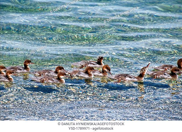 big group of Common Merganser chicks swimming in Geneva Lake, Geneva, Switzerland , Europe