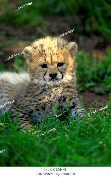 Cheetah, Sudan Cheetah, (Acinonyx jubatus soemmeringii), young, seven weeks old, Northeast Africa, Africa