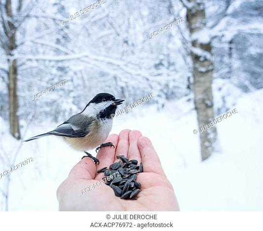 Black-capped Chickadee (Poecile atricapillus) is a small, nonmigratory, North American songbird, Hand Feeding