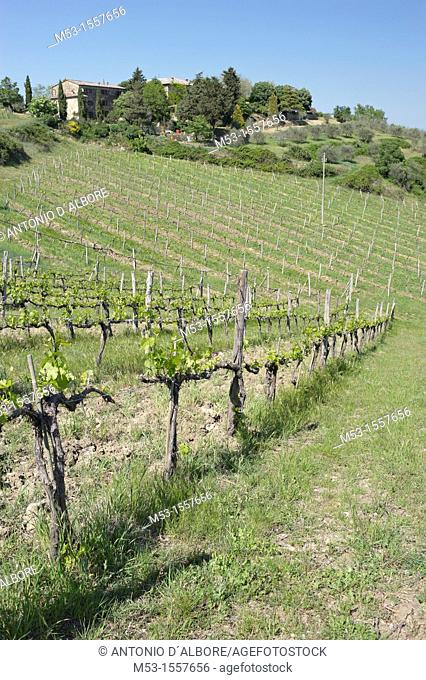 Vineyards in Tregole a small village in province of Siena  Tuscany  Italy