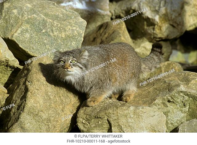 Pallas Cat Otocolobus manul Female on rocks - captive - Howletts Zoo, UK S