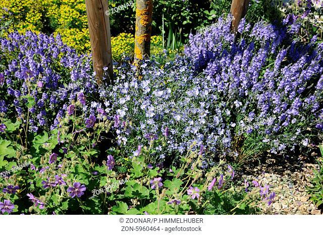 Linum perenne, Alpenlein, Blue flax