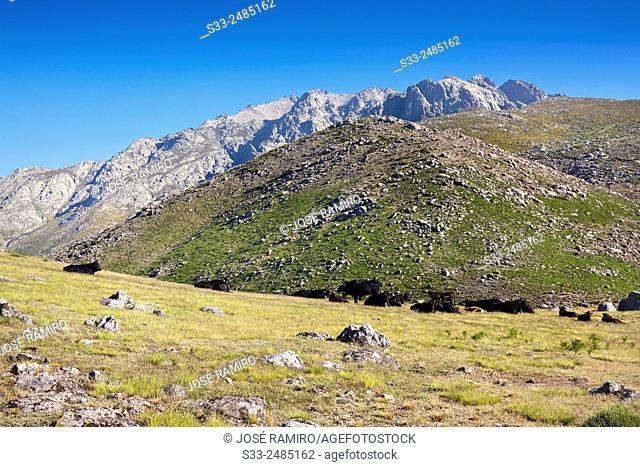 Bulls at the Rituerta pass and Cuchillar de las Navajas. Sierra de Gredos. Avila. Castilla Leon. Spain. Europe