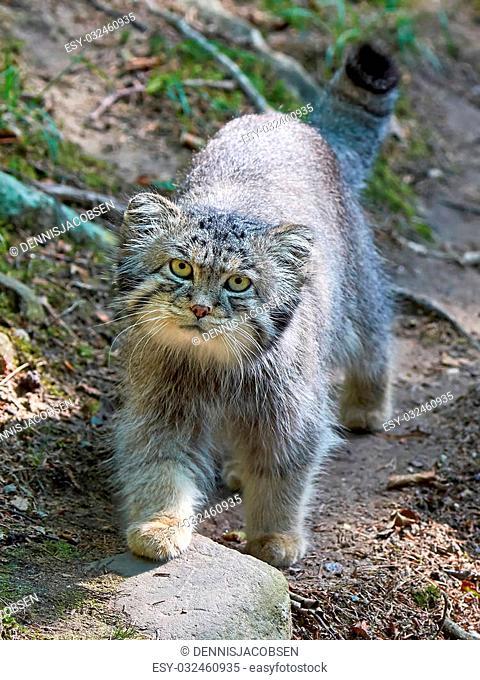 Pallas's cat walking around in its habitat looking in the camera
