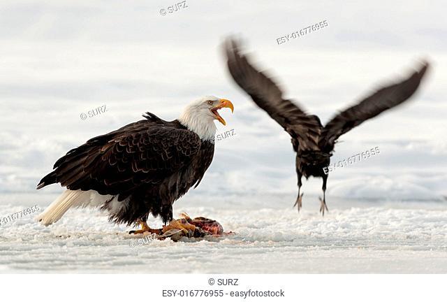 Eating bald eagle ( Haliaeetus leucocephalus ) and raven