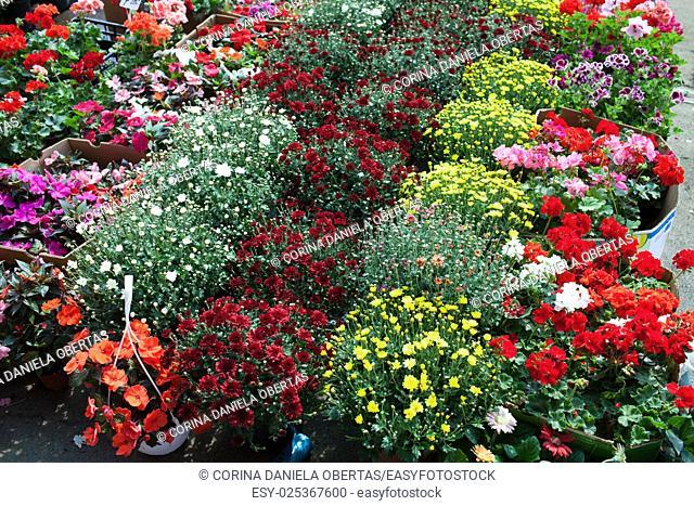 Colorful chrysanthemum and geranium flowers in market at Bucharest Romania