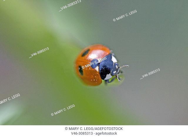 Five-spot Ladybird, Coccinella quinquepunctata