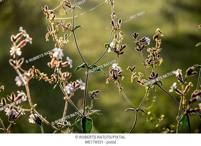 Blooming flowers on a green grass. Meadow with wild flowers. Flowers is seed-bearing part of a plant, consisting of reproductive organs that are typically...