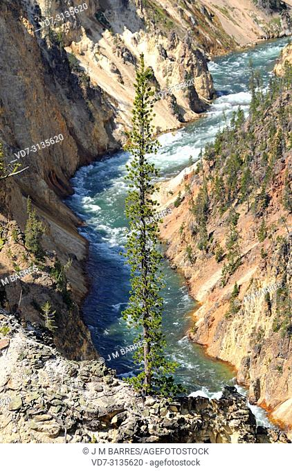 Lodgepole pine (Pinus contorta) is a coniferous tree native to western USA. This photo was taken in Yellowstone Canyon, Yellowstone National Park, Wyoming, USA