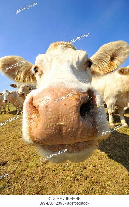 Charolais cattle, domestic cattle (Bos primigenius f. taurus), curiously looking at the camera, France, Brittany, Erquy