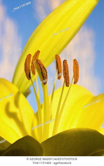 Yellow lily, stamen