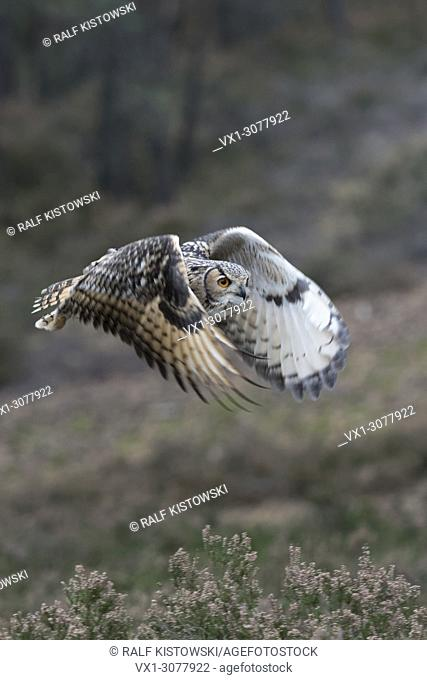 Indian Eagle-Owl / Rock Eagle-Owl ( Bubo bengalensis ) in flight through the woods, flapping its wings, noiseless, hunting