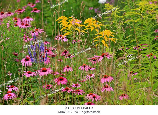 Purple coneflower and goldenrod, flower meadow