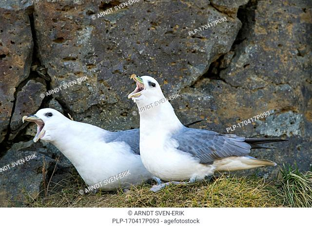 Northern fulmar / Arctic fulmars (Fulmarus glacialis) pair displaying on ledge in rock face of sea cliff