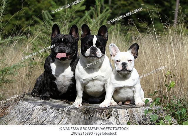 Dog French Bulldog three adults on a tree trunk
