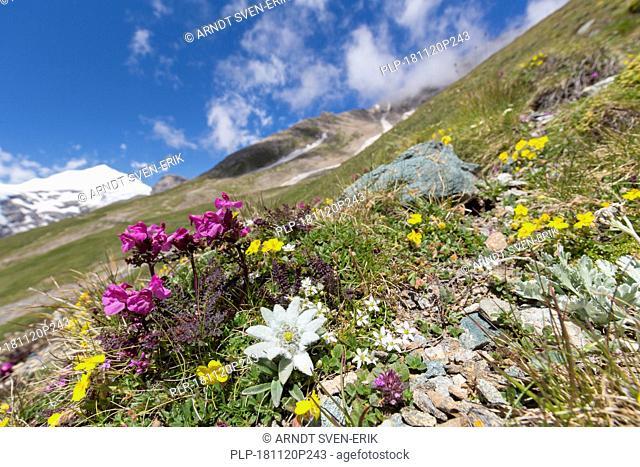 Edelweiss (Leontopodium nivale / Leontopodium alpinum) in flower on mountain slope, Hohe Tauern National Park, Austrian Alps, Carinthia, Austria