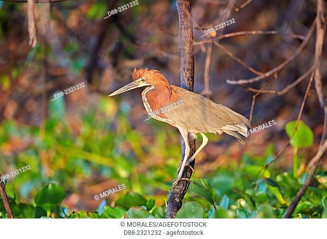 South America,Brazil,Mato Grosso,Pantanal area,Rufescent Tiger Heron (Tigrisoma lineatum),adult