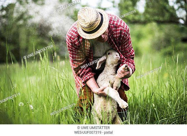 Shepherd examining lamb on pasture