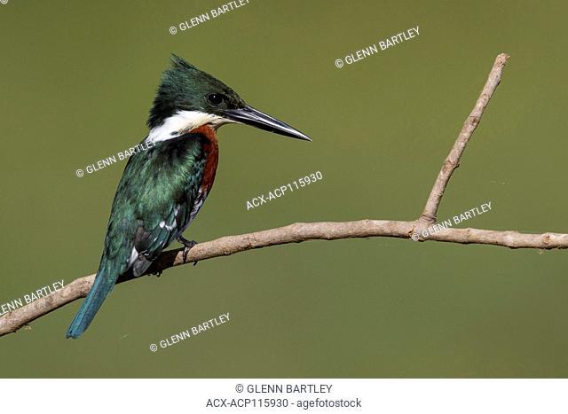 Green Kingfisher (Chloroceryle americana) in the Pantanal region of Brazil