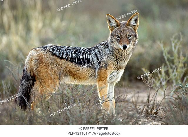 Black-backed jackal Canis mesomelas close-up, Mountain Zebra National Park, South Africa