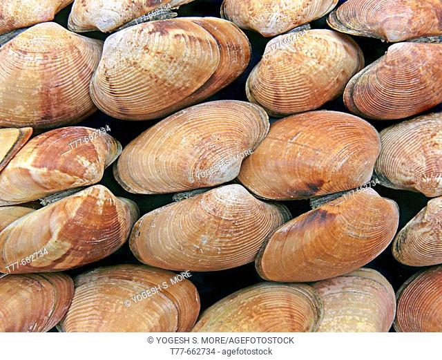 Clams, Class: Bivalvia, Representative mollusks. Bivalves have a shell with two halves. Filter feeders, they take in food and water through a tubular siphon