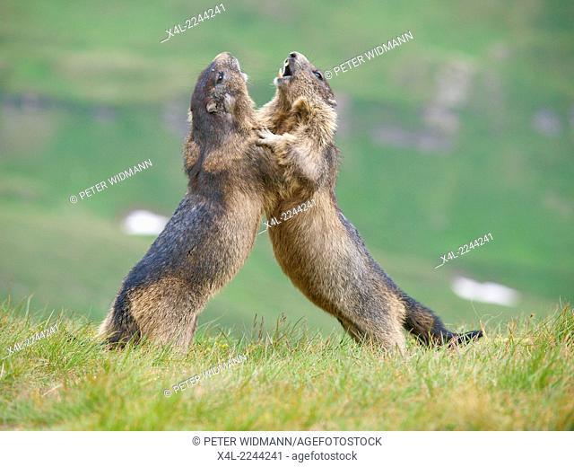 marmot, Grossglockner area, high alpine road, Austria, Carinthia, Grossglockner