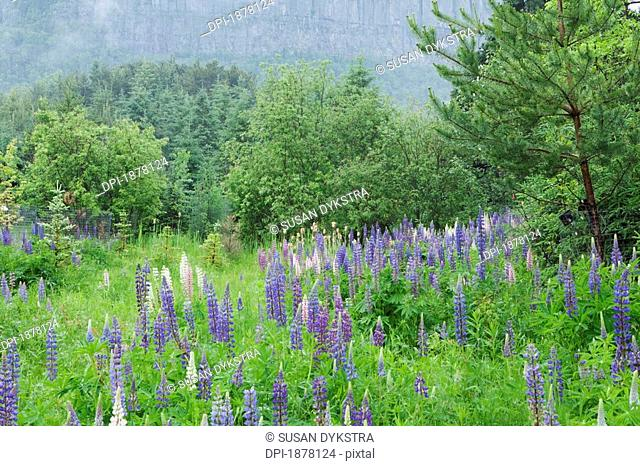 purple lupines, thunder bay, ontario, canada