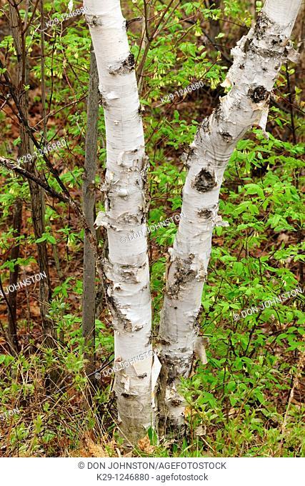 White birch Betula papyrifera Turnks in spring