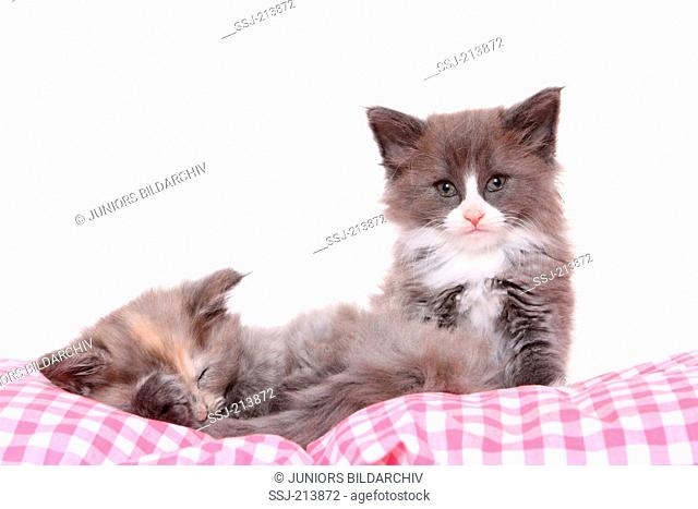 Norwegian Forest Cat. Two kittens (6 weeks old) resting on a checkered cushion. Studio picture against a white background. Germany
