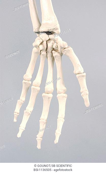 SKELETON, HAND<BR>Anatomical model of the hand of an adult human skeleton.  The skeletal structure of the hand is made up of the carpal and metacarpal bones and...