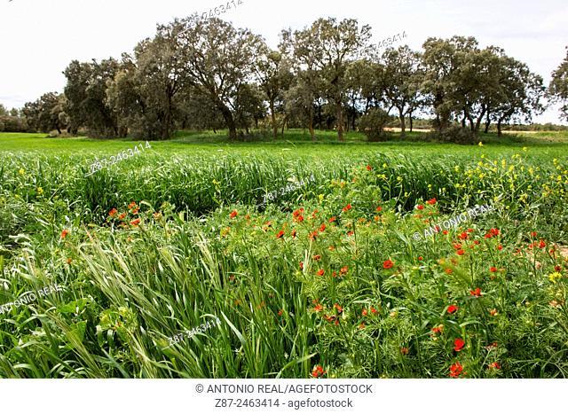 Poppies in cereal field and oaks in background, Almansa, Albacete province, Castilla-La Mancha, Spain