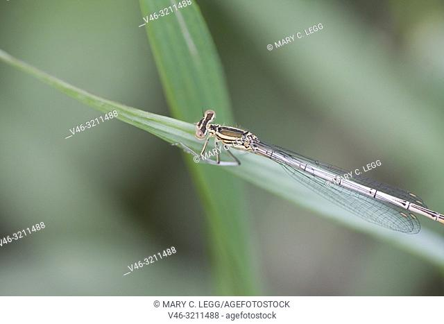 Female White-legged Damselfly, Platycnemis pennipes, Blue Featherleg, a distinct damselfly with white legs/ Length is 32mm
