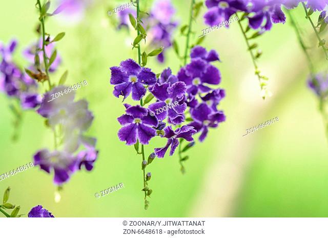 Golden Dew Drop or Sky Flower ( Duranta erecta )