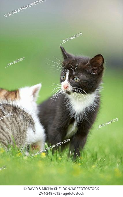 Close-up of a six weeks old domestic cat (Felis silvestris catus) kitten on a meadow in early summer
