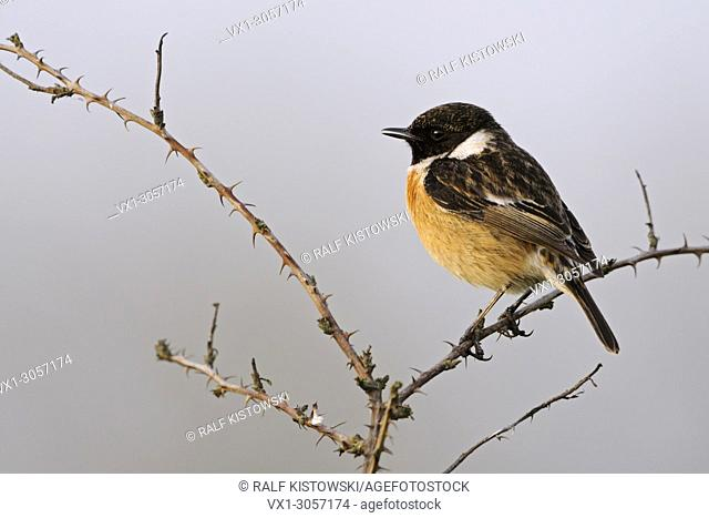 European Stonechat ( Saxicola torquata ), adult male in its breeding dress, perched on blackberry tendrils in last evening light, singing in early spring