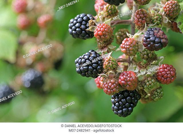 Rubus armeniacus, Blackberries, Ireland, Europe
