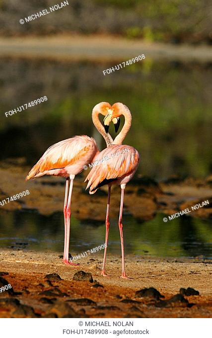Greater flamingo Phoenicopterus ruber foraging for small pink shrimp Artemia salina in saltwater lagoons in the Galapagos Island Group, Ecuador