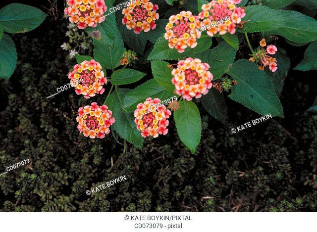 "Flowers (Sedum sp. And Lantana ""Confetti"")"