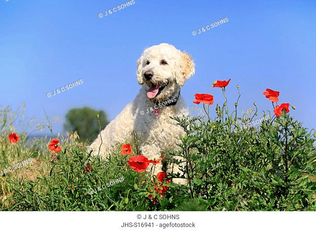 Labradoodle, (Canis lupus familiaris), adult male in meadow, Rhineland-Palatinate, Germany, Europe
