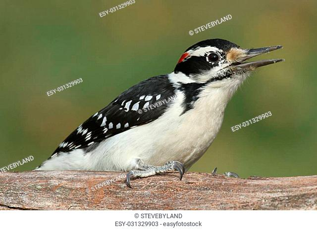 Male Hairy Woodpecker (Picoides villosus) on a tree with a green background