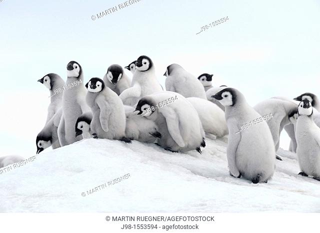 Emperor penguin Aptenodytes forsteri, chicks  Location: Snow Hill Island, Weddell Sea, Antarctica
