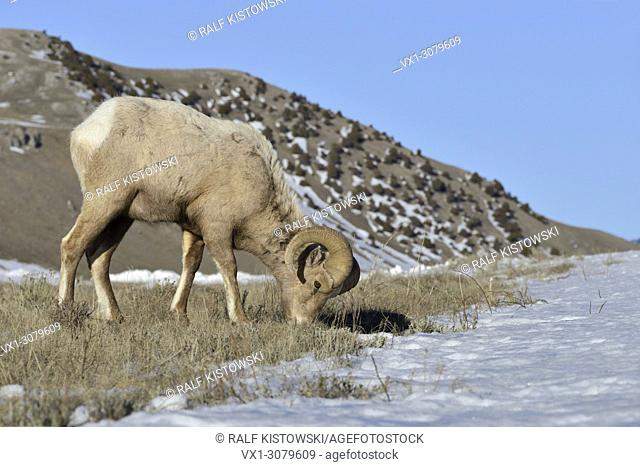 Rocky Mountain Bighorn Sheep ( Ovis canadensis ), ram in winter, feeding on grasses between the snow, Yellowstone area, USA, wildlife, Europe.