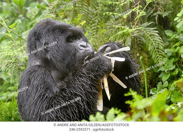 Mountain Gorilla (Gorilla gorilla beringei) large silverback male Agasha from the Agasha group thick vegetation and rain, eating bamboo, Volcanoes national park