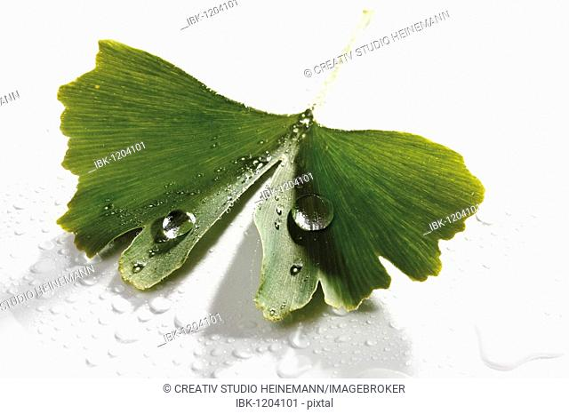 Ginkgo leaf with water drops