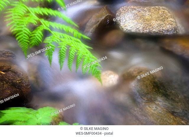 Fern Dryopteris by brook, close-up