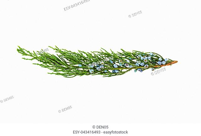 twig of thuja on white background
