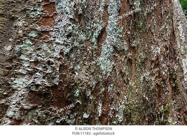 Close-up of the texture of an old hardwood tree in the Daintree Rainforest, Queensland, Australia