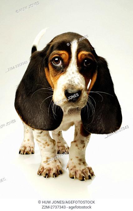 Bassett Basset Hound Puppy, Ten weeks old