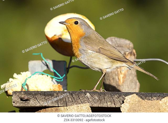 European Robin (Erithacus rubecula), side view of an adult standing on a bird feeder, Campania, Italy